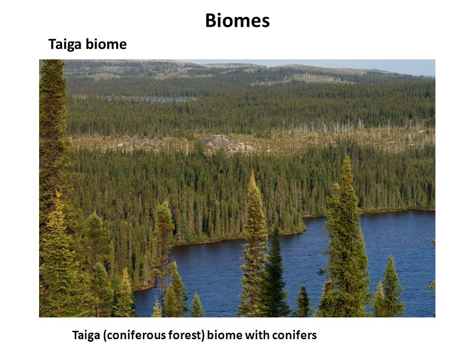 Biomes Taiga biome Taiga (coniferous forest) biome with conifers