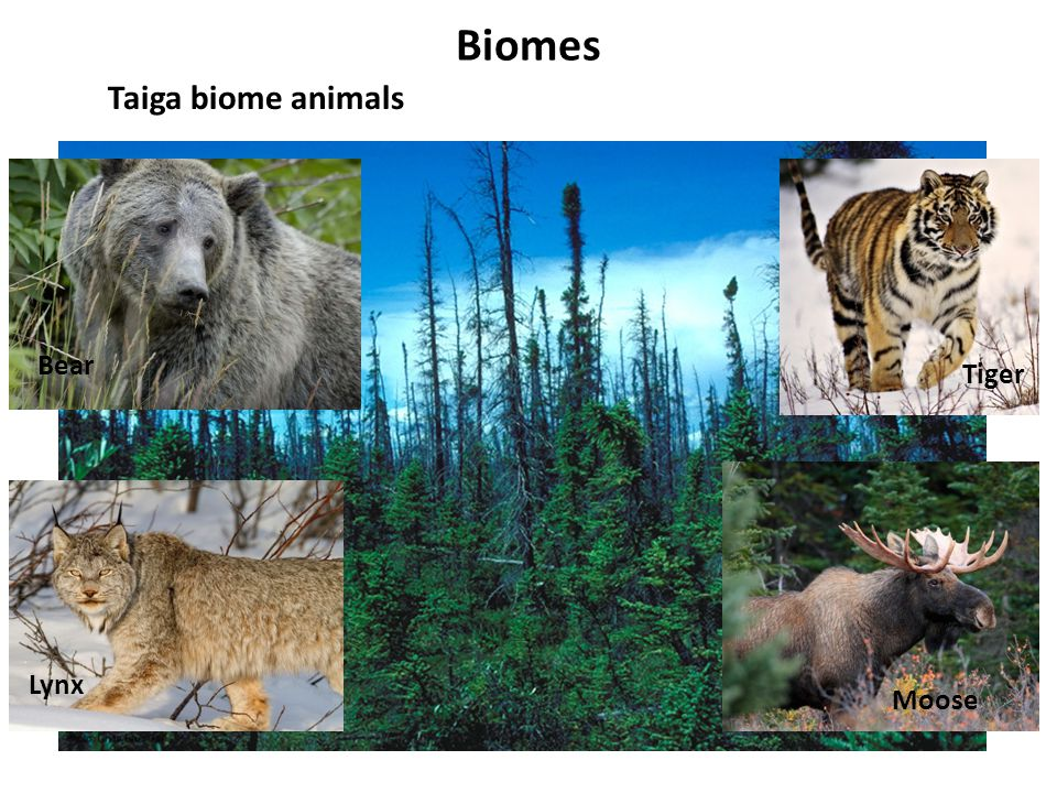 Biomes Taiga biome animals Bear Tiger Lynx Moose