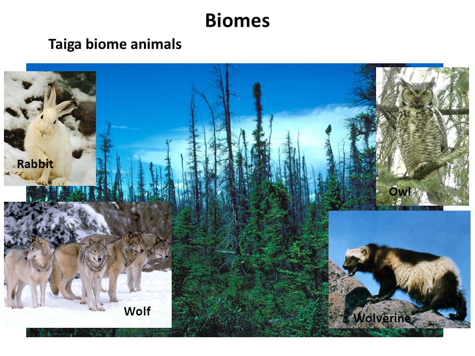 Biomes Taiga biome animals Rabbit Owl Wolf Wolverine