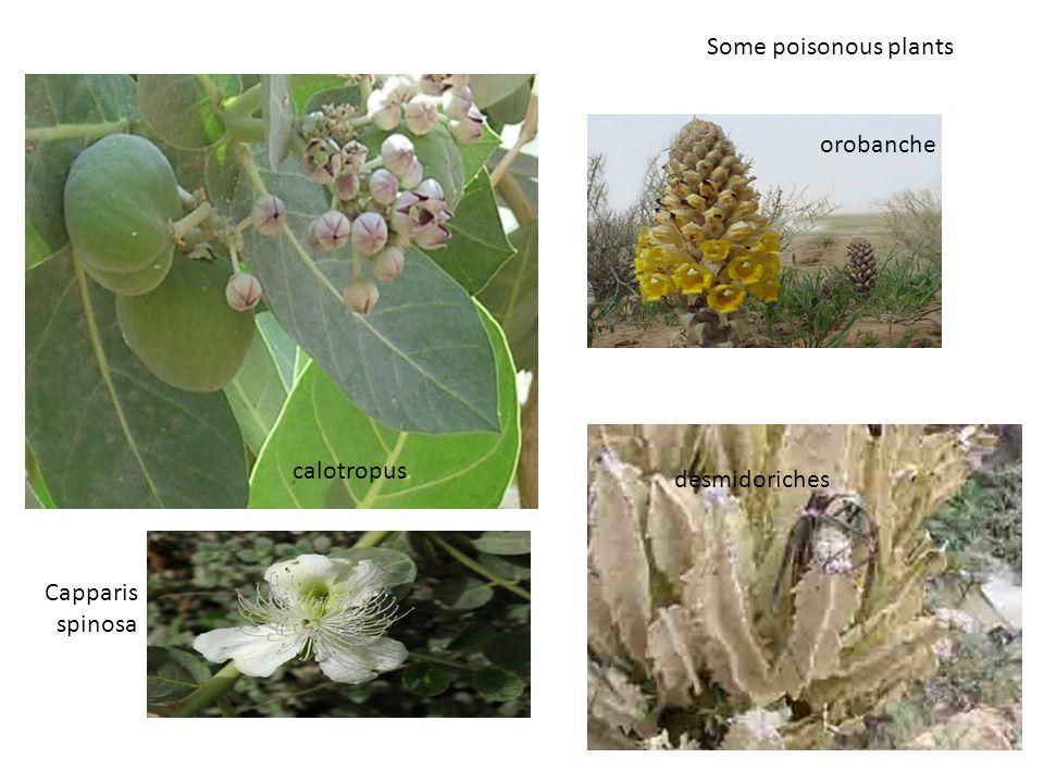 Some poisonous plants orobanche calotropus desmidoriches Capparis spinosa