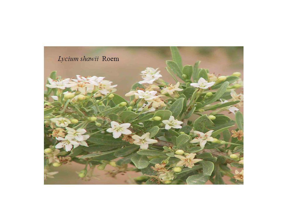 Lycium shawii Roem