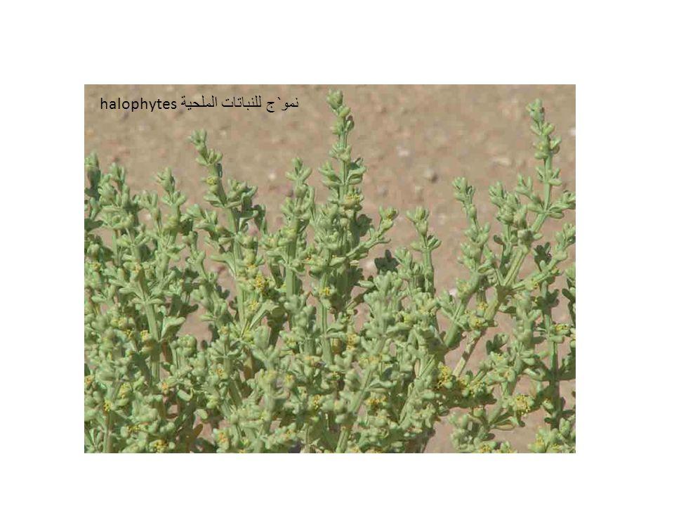 نمو`ج للنباتات الملحية halophytes