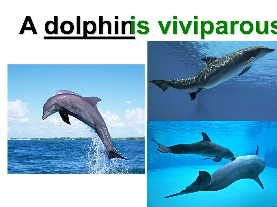 A dolphin is viviparous
