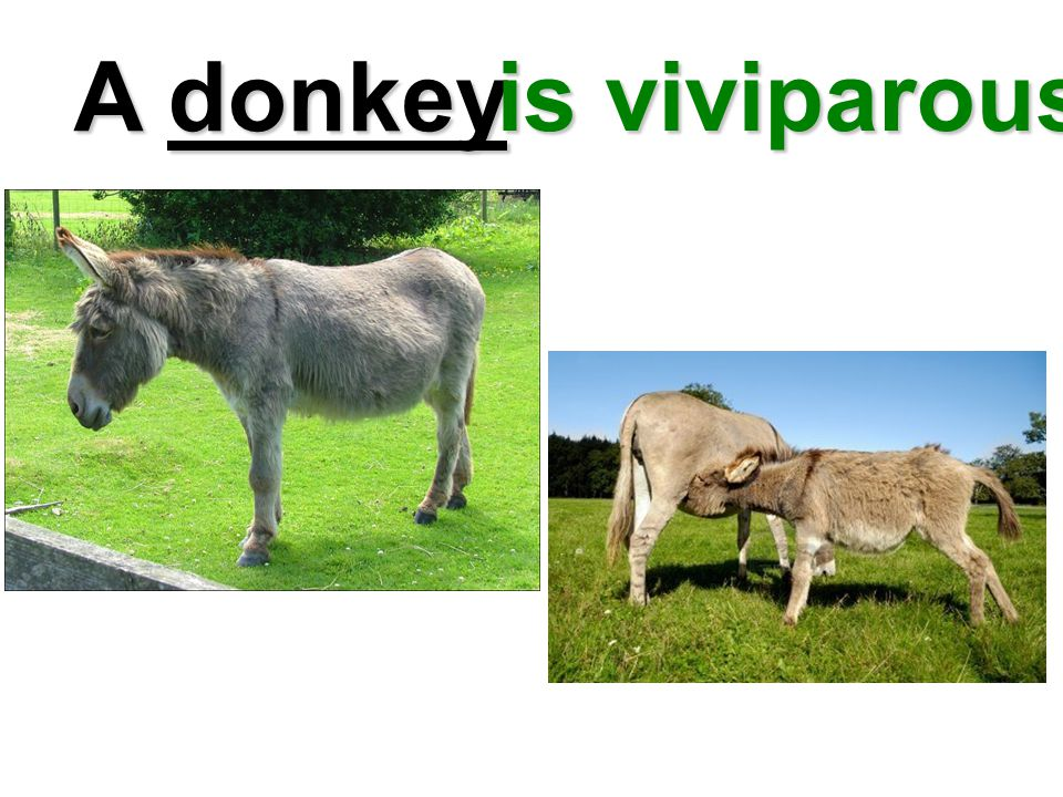 A donkey is viviparous