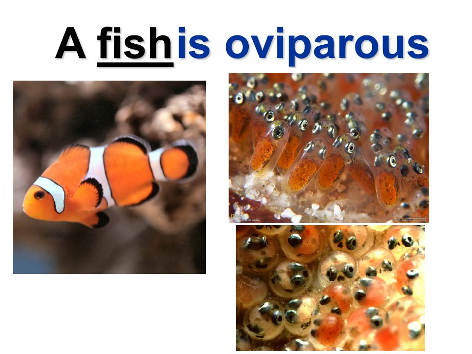 A fish is oviparous
