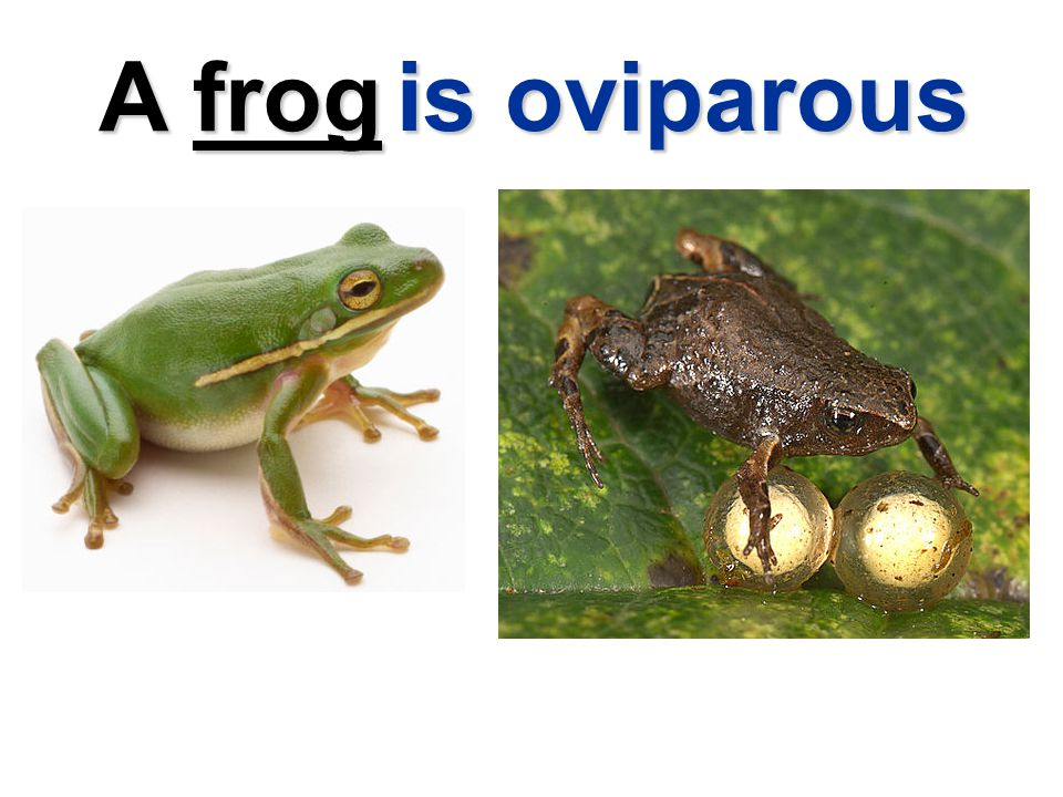 A frog is oviparous