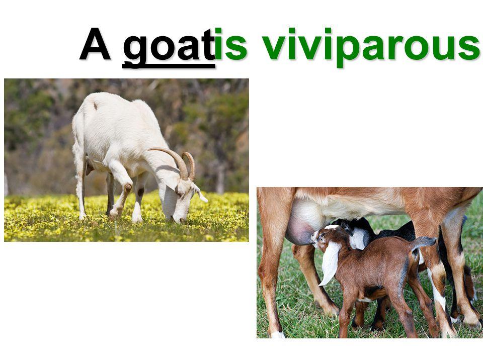 A goat is viviparous