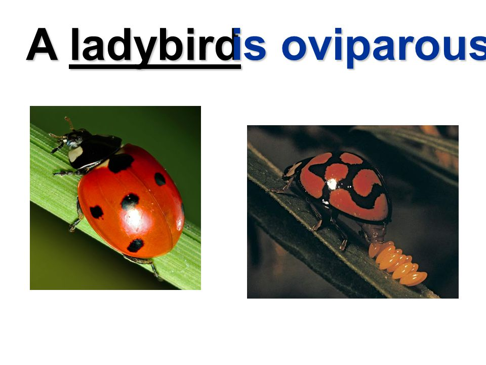 A ladybird is oviparous