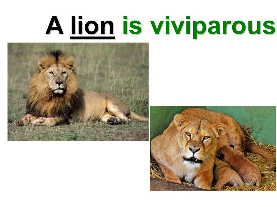A lion is viviparous