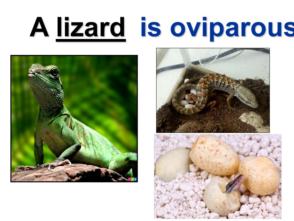 A lizard is oviparous