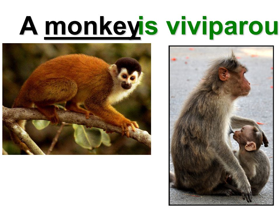 A monkey is viviparous