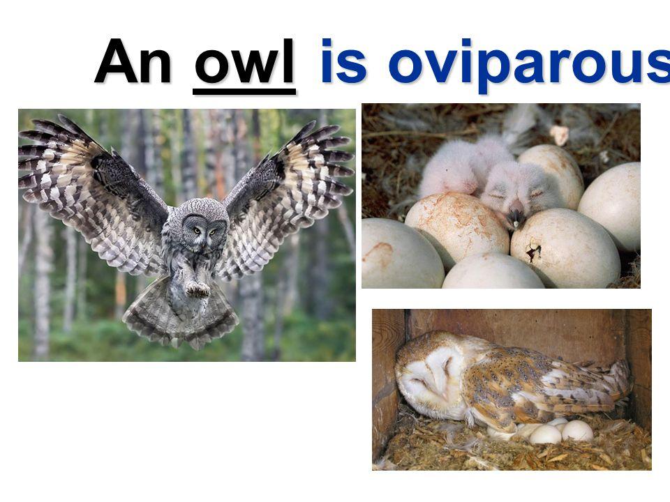 An owl is oviparous