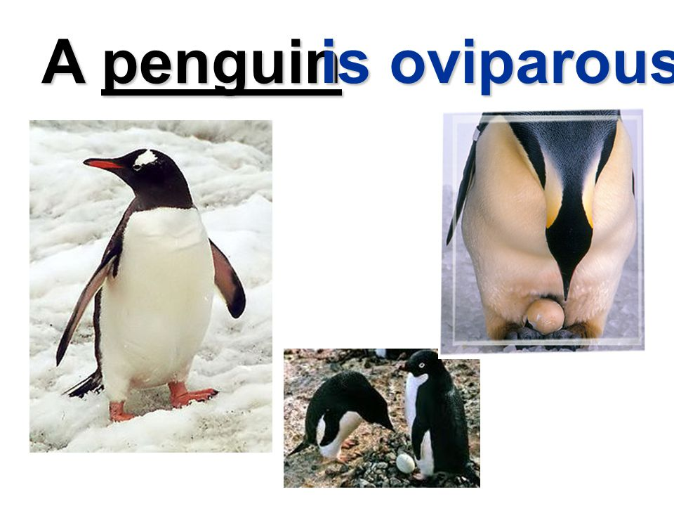 A penguin is oviparous