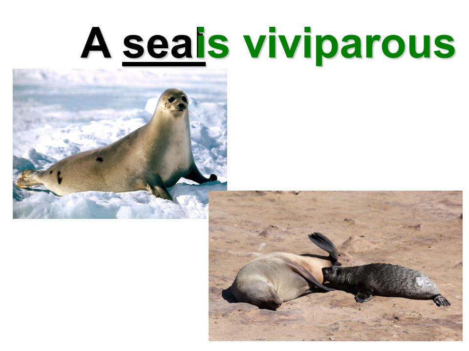 A seal is viviparous