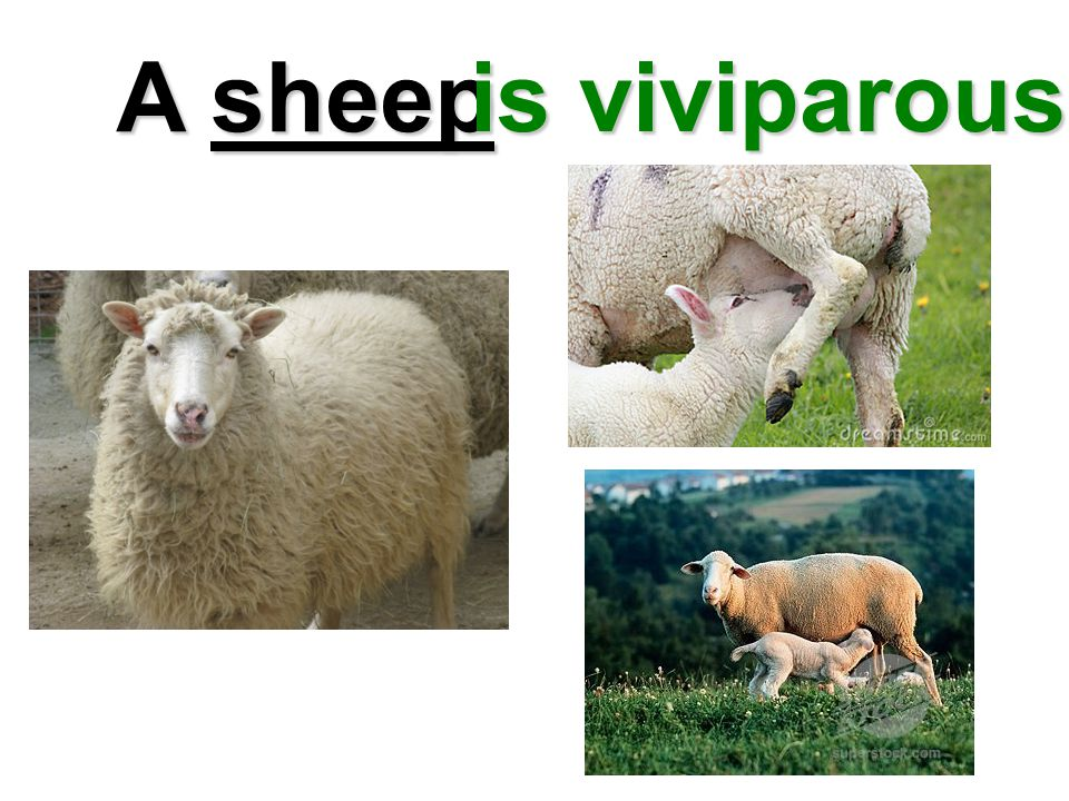 A sheep is viviparous