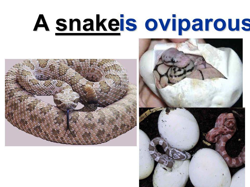 A snake is oviparous