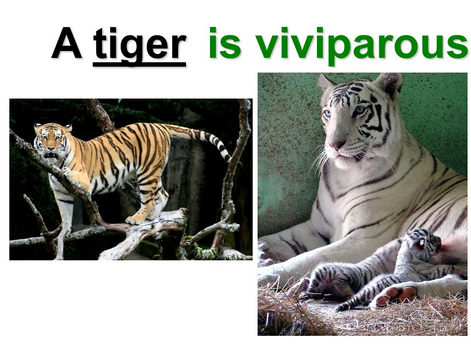 A tiger is viviparous