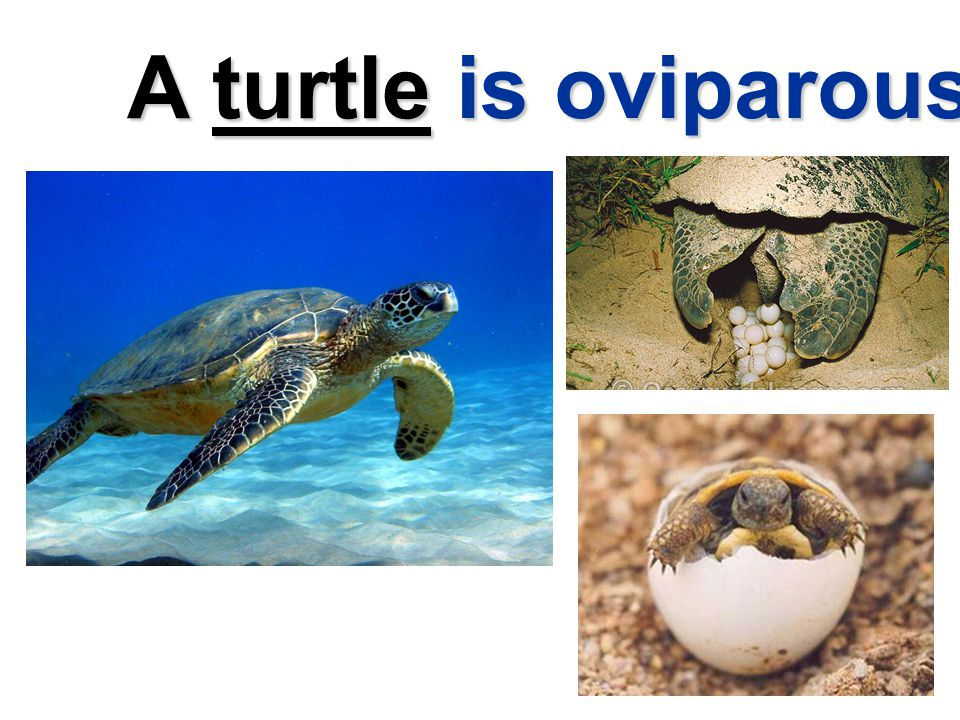 A turtle is oviparous