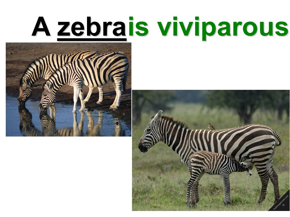 A zebra is viviparous