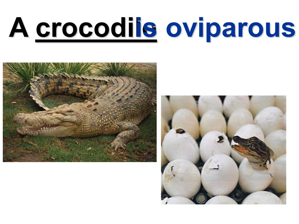 A crocodile is oviparous