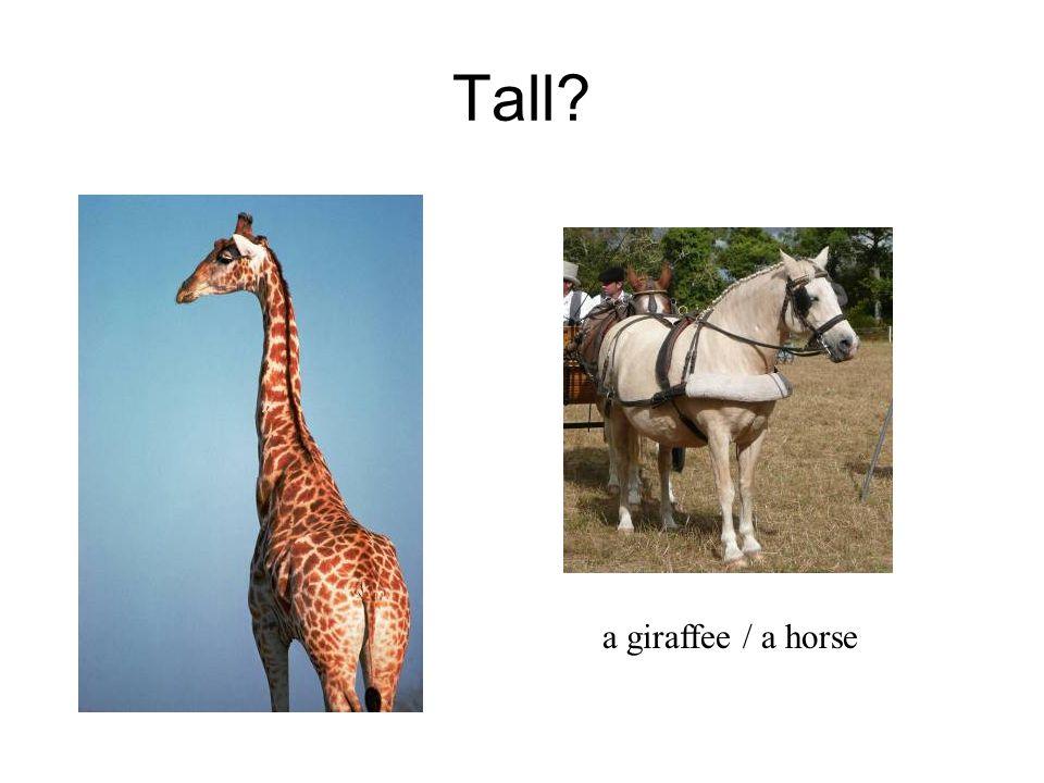 Tall a giraffee / a horse