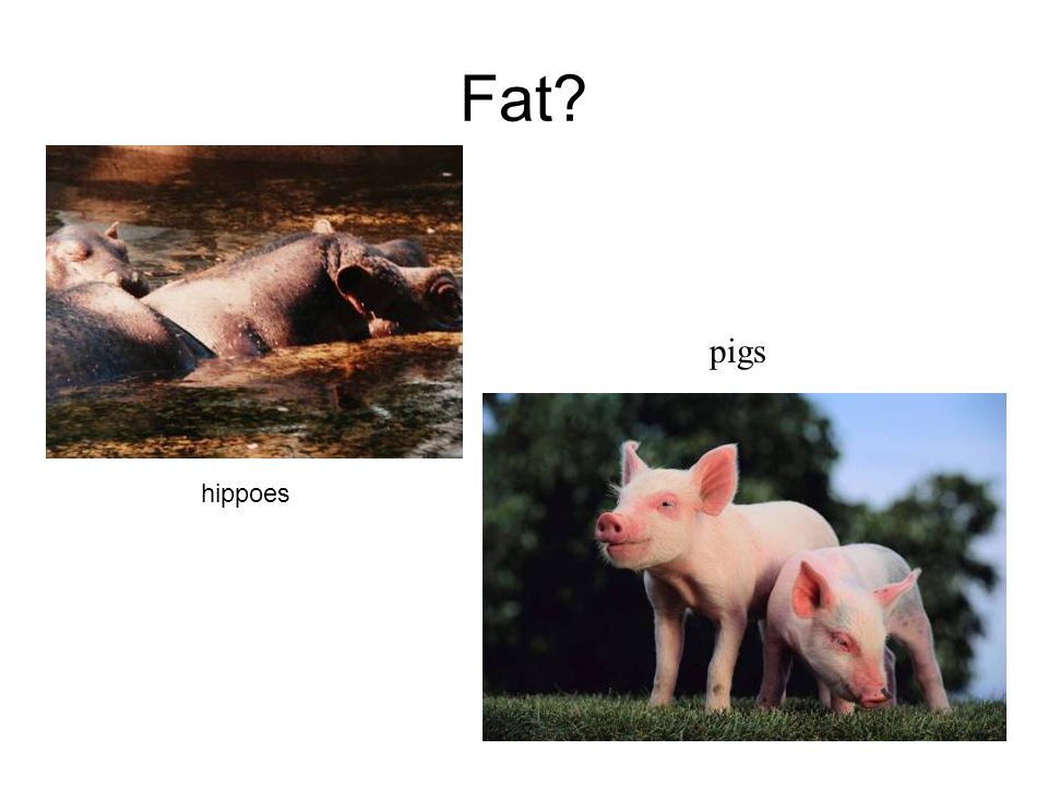 Fat pigs hippoes