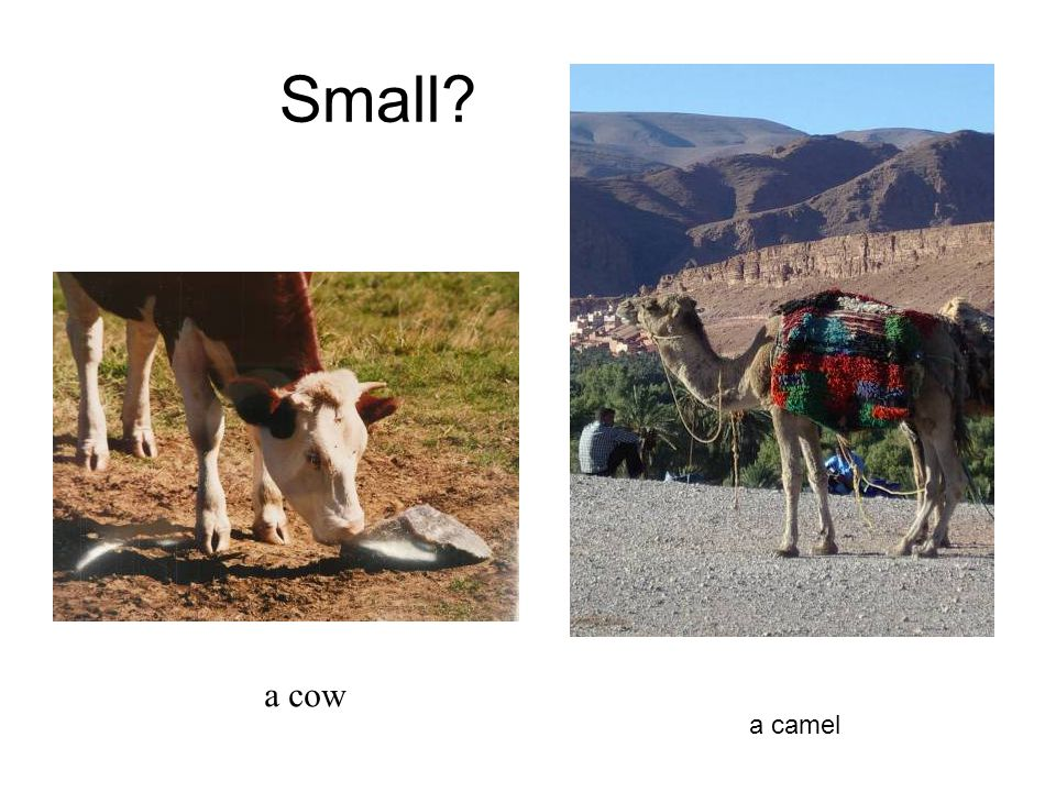 Small a cow a camel