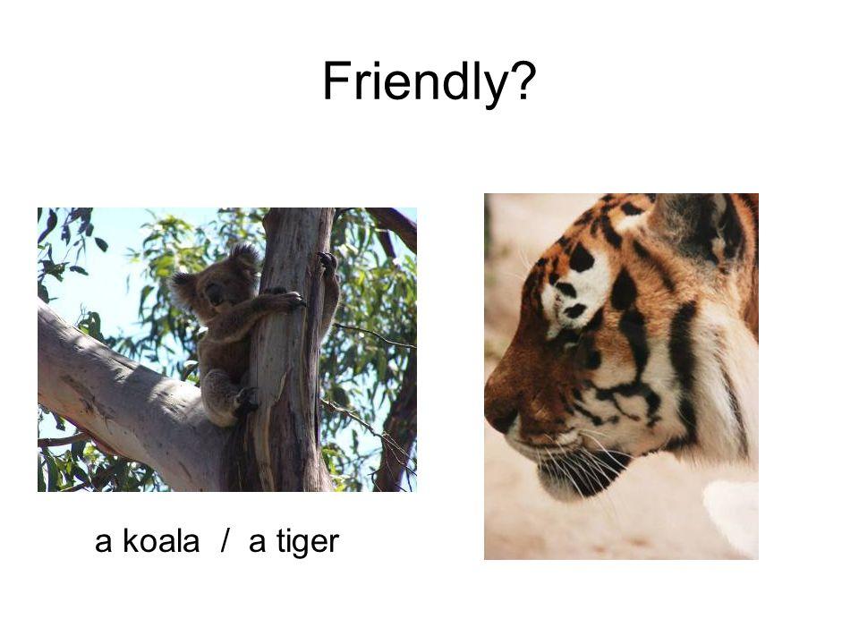 Friendly a koala / a tiger