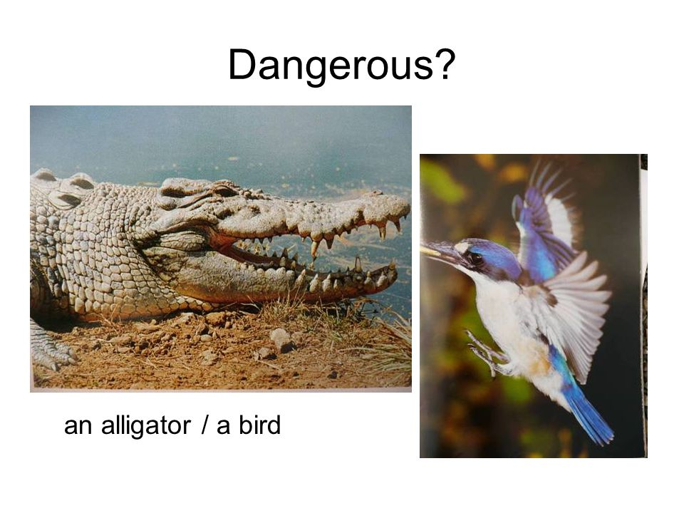 Dangerous an alligator / a bird