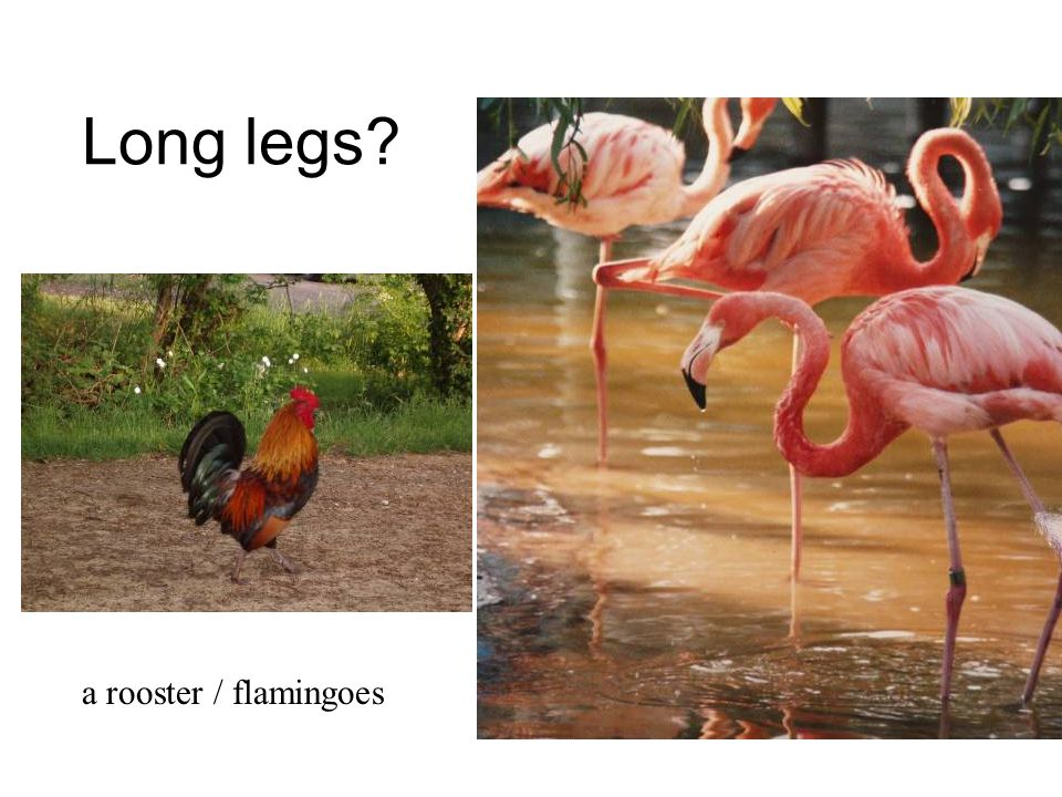 Long legs Gecko a rooster / flamingoes