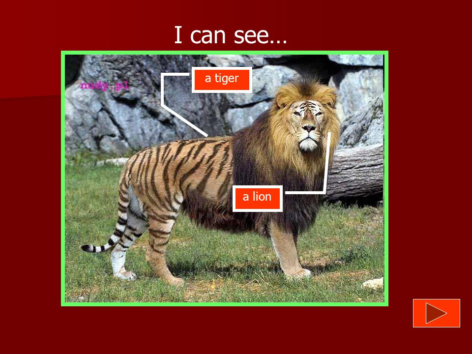 I can see… a tiger a lion