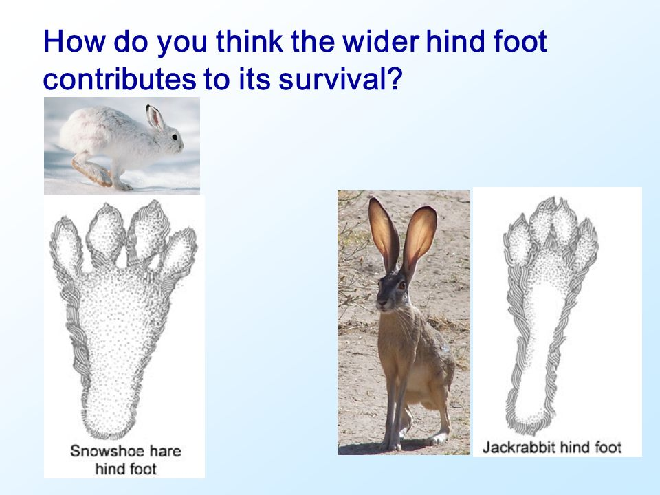 How do you think the wider hind foot contributes to its survival