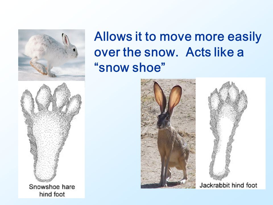 Allows it to move more easily over the snow. Acts like a snow shoe