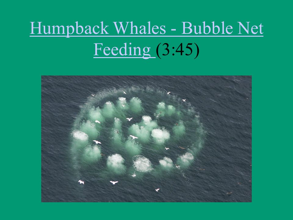 Humpback Whales - Bubble Net Feeding (3:45)