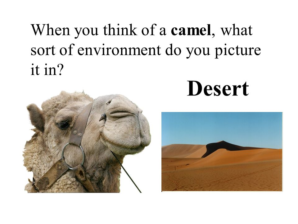 When you think of a camel, what sort of environment do you picture it in