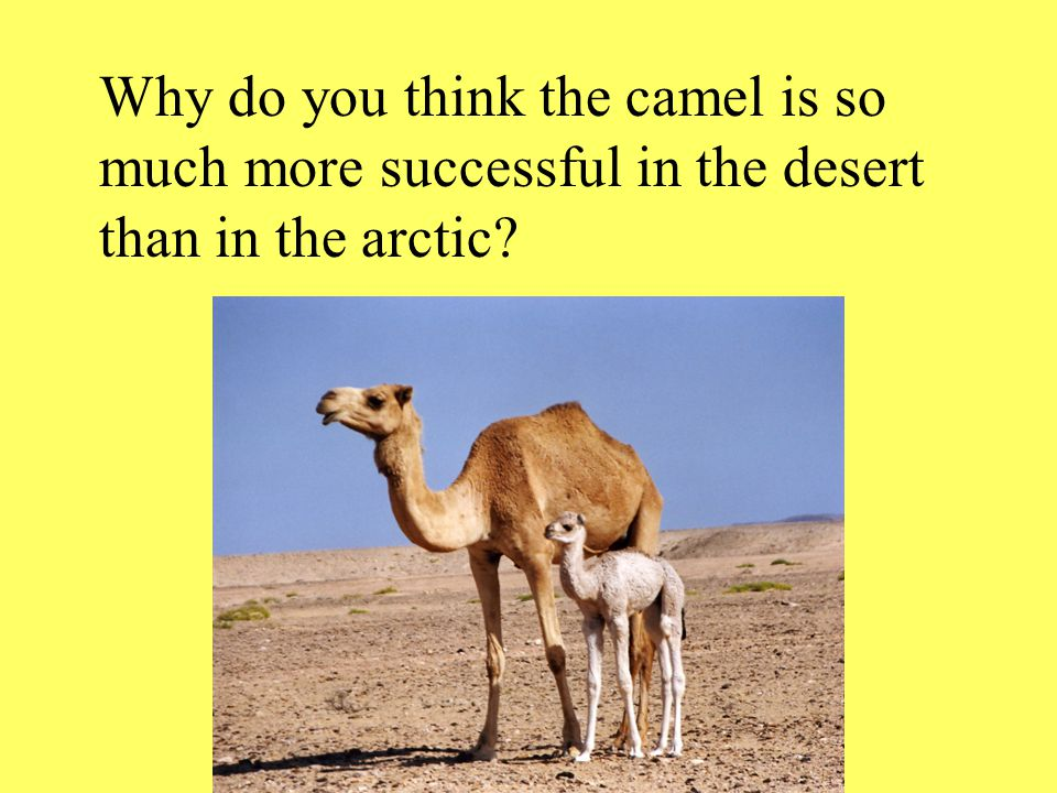 Why do you think the camel is so much more successful in the desert than in the arctic