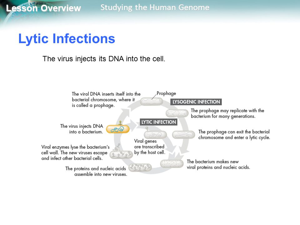 Lytic Infections The virus injects its DNA into the cell.