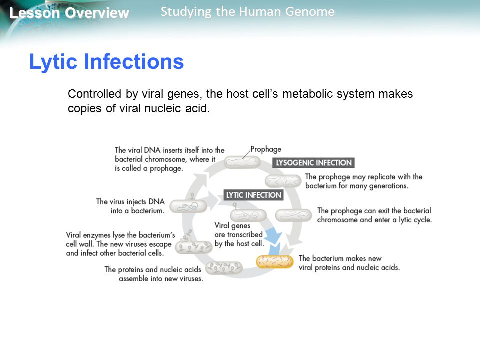 Lytic Infections Controlled by viral genes, the host cell's metabolic system makes copies of viral nucleic acid.
