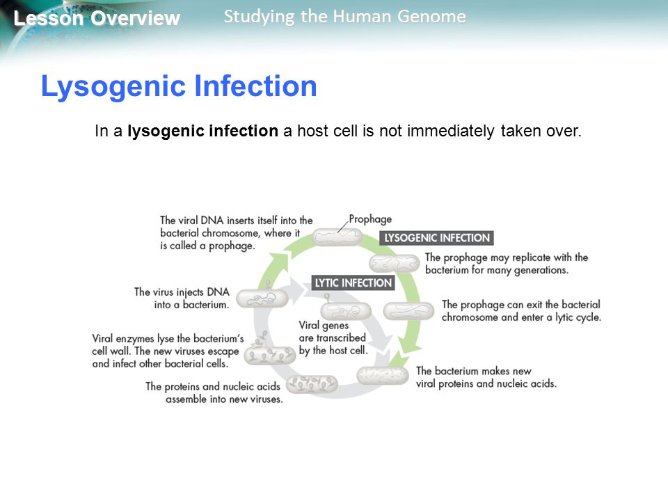 Lysogenic Infection In a lysogenic infection a host cell is not immediately taken over.