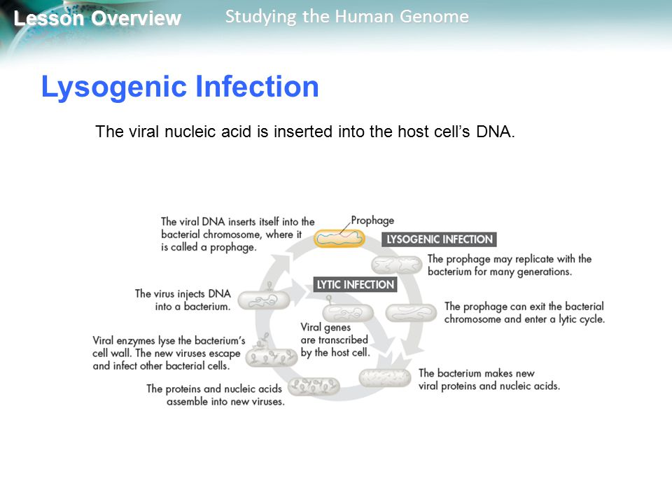 Lysogenic Infection The viral nucleic acid is inserted into the host cell's DNA.