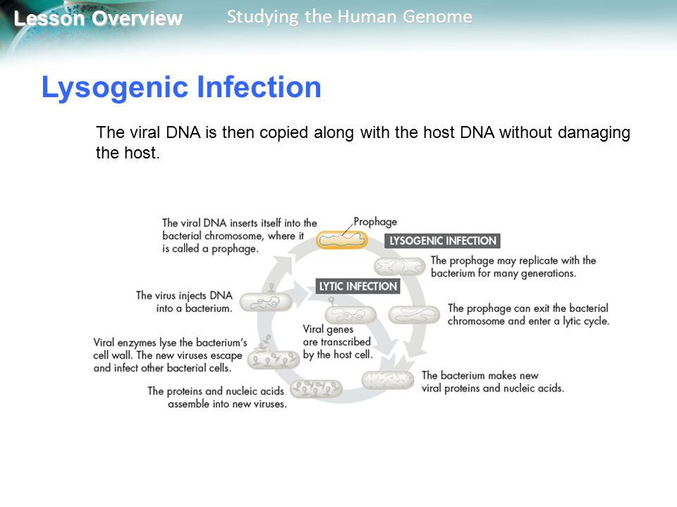 Lysogenic Infection The viral DNA is then copied along with the host DNA without damaging the host.