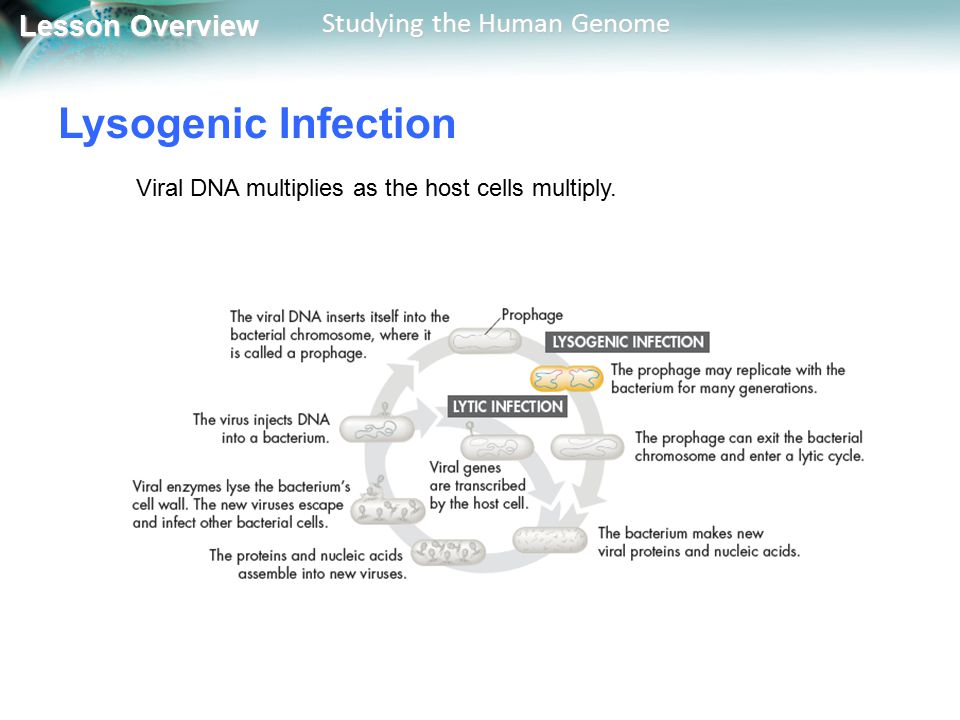 Lysogenic Infection Viral DNA multiplies as the host cells multiply.