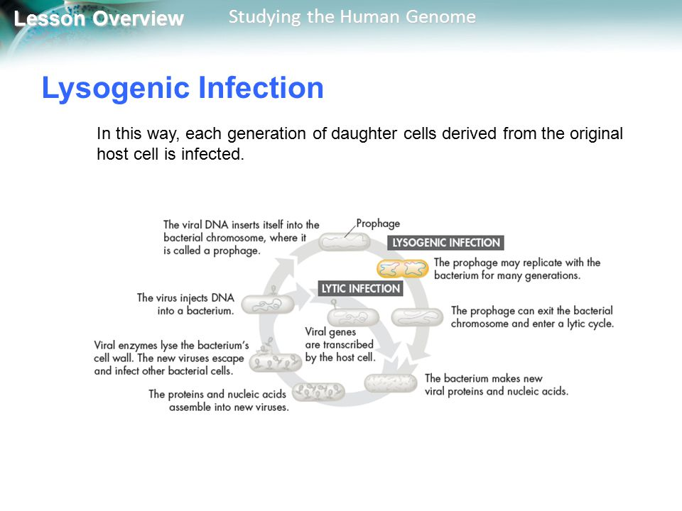 Lysogenic Infection In this way, each generation of daughter cells derived from the original host cell is infected.