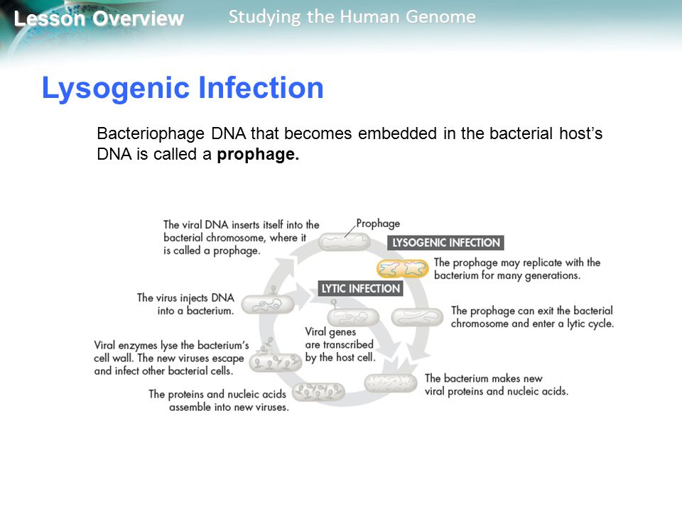 Lysogenic Infection Bacteriophage DNA that becomes embedded in the bacterial host's DNA is called a prophage.