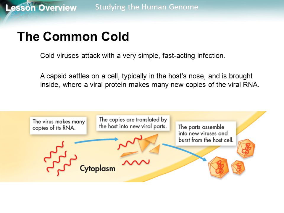 The Common Cold Cold viruses attack with a very simple, fast-acting infection.
