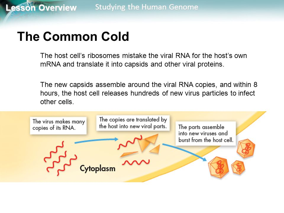 The Common Cold The host cell's ribosomes mistake the viral RNA for the host's own mRNA and translate it into capsids and other viral proteins.