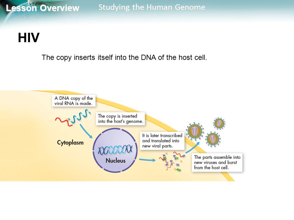 HIV The copy inserts itself into the DNA of the host cell.