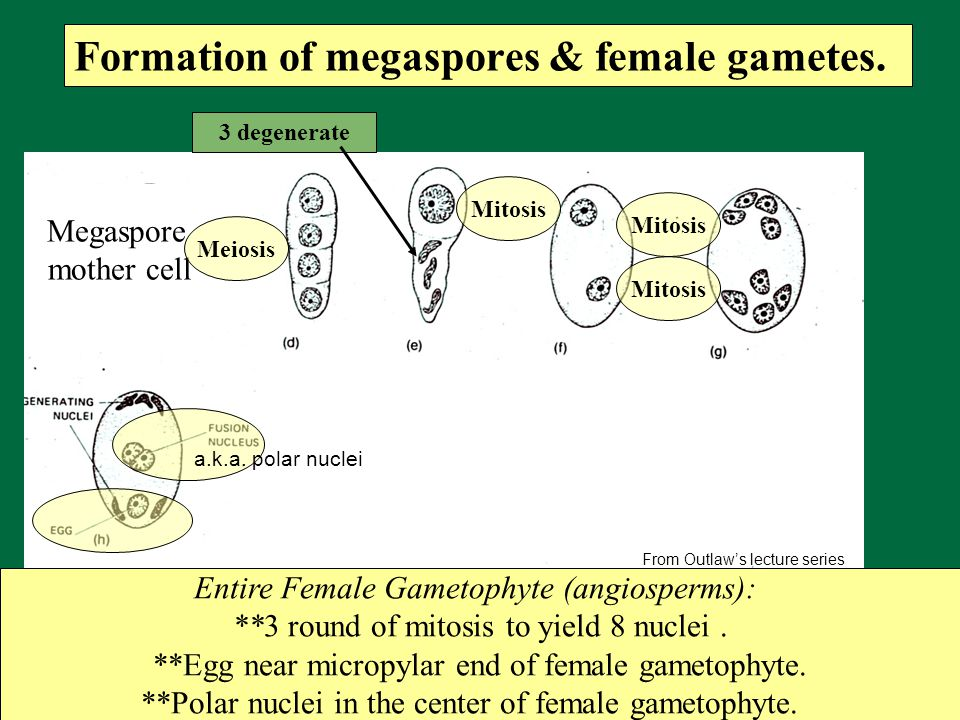 Formation of megaspores & female gametes.