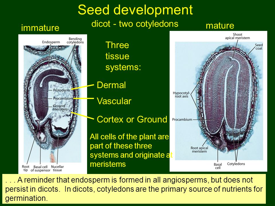 Seed development dicot - two cotyledons mature immature
