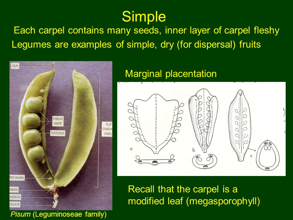 Each carpel contains many seeds, inner layer of carpel fleshy